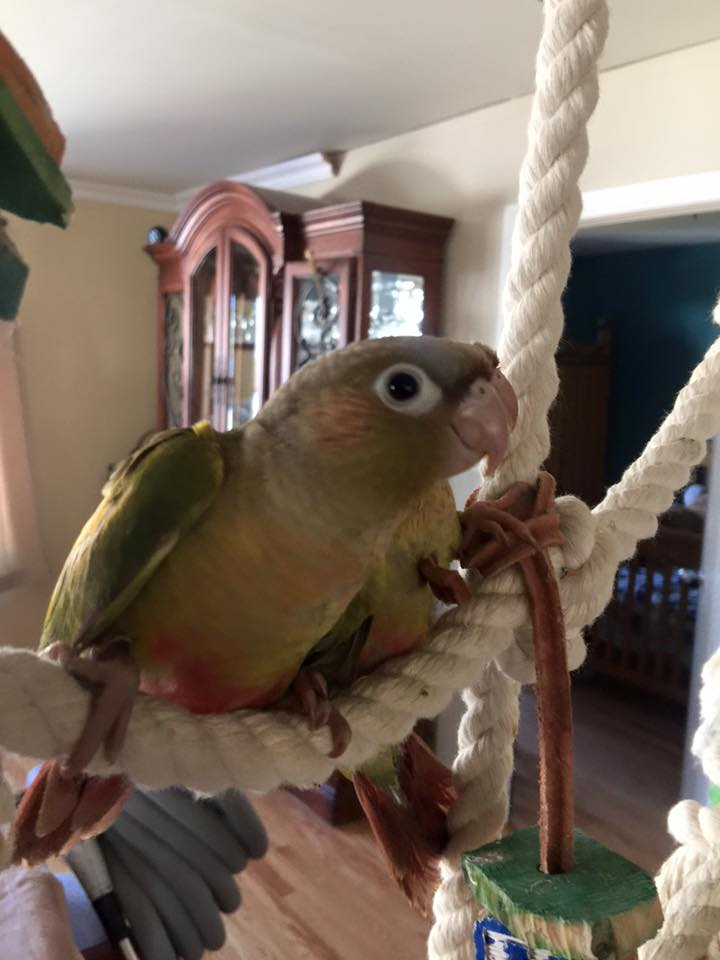 oisellerie-domingo-conure-pineapple_1